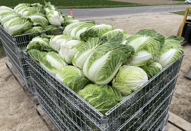 レンタル メッシュコンテナ 白菜 はくさい 収穫 鉄コンテナ