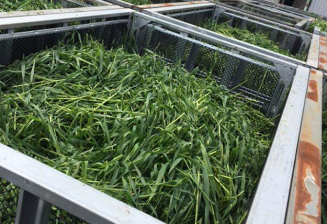大麦わかば メッシュコンテナ スチールコンテナ 大麦若葉 おおむぎわかば 鉄コンテナ