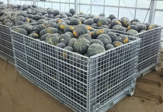 南瓜の収穫 鉄コンテナ セイカン